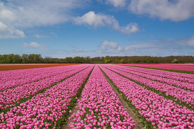 Tulpenblüte (© Rudy and Peter Skitterians - Pixabay)